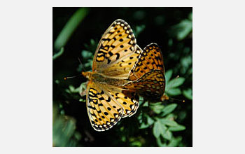 Photo of Mormon Fritillary butterflies mating in the Rocky Mountains.