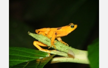 Photo of the Panamanian golden frog, one of more than 100 disappearing species of harlequin frogs.