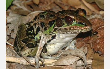 Photo of an adult leopard frog.
