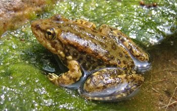 Photo of a mountain yellow-legged frog is an amphibian species affected by the chytrid fungus.