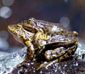 Photo of a pair of mountain yellow-legged frogs in California's Sierra Nevada mountains.