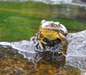 Photo of a mountain yellow-legged frog sitting on a rock outcrop on the bank of a stream.