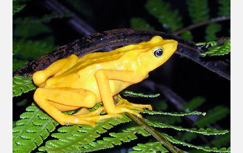 Photo of a Panamanian golden frog.