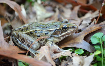 Photo of the newly discovered frog species found in the New York City area.