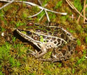 Photo of a southern leopard frog.