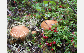 Photo showing fungi in Alaska's boreal forest.