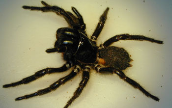 female Blue Mountains funnel web spider