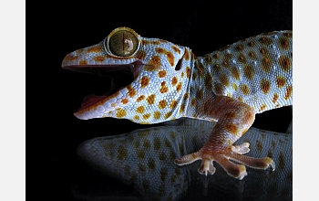 A gecko sits atop a glass surface in this image from the NIRT laboratory.