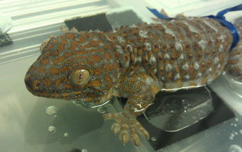A tokay gecko (Gekko gecko) sits on a wet surface prior to adhesion tests.