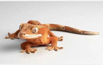 Photo of a gecko, which has a unique ability to scamper across shear surfaces and vertical walls.
