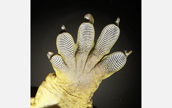 A close-up image of a gecko's foot.