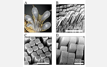 Photo of magnified gecko foot pads and carbon nanotube analogs developed in Dhinojwala's laboratory.