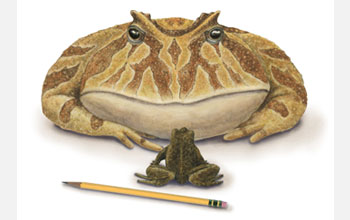 Illustration of giant frog Beelzebufo, the largest frog ever to live on Earth.