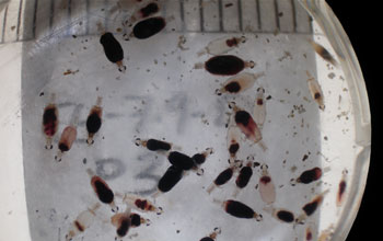 Photo of a container with juvenile gnathiids engorged with fresh blood.