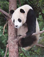 Photo of a giant panda.