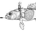 Drawing of Antarctic gravelbeard plunderfish
