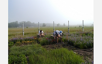 Scientists study purple lupines and other flowers and grasses in an experimental plot.