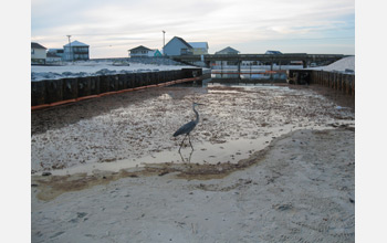 Photo of oil washed up along a Gulf coast beach with a heron in the foreground.