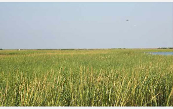 Photo of a Louisiana salt marsh.