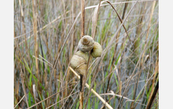 Photo of salt marsh periwinkle snails.