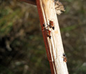 Photo of ants on a stem of marsh grass.