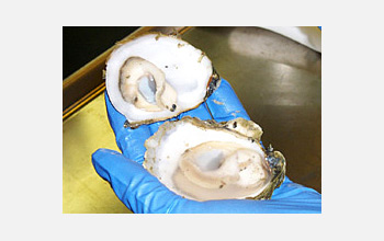 Photo of a gloved hand holding an opened oyster.