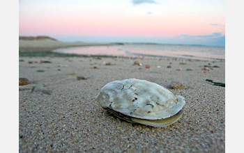 Photo of an oyster on a beach.