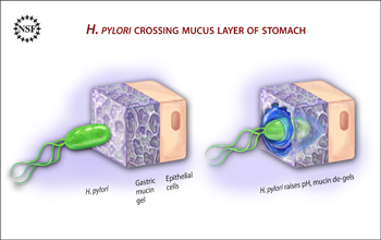 Illustration showing H. pylori liquefying stomach mucin to cross over to the epithelium cells.