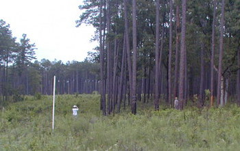 scientists in a corridor connecting two fire ant sites in a forested area