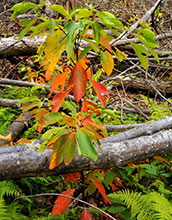 A photo of Sassafras leaves growing between branches.