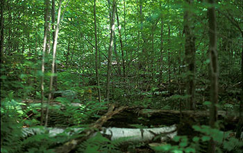 Photo of trees in the Harvast Forest nine years after the expriement started.