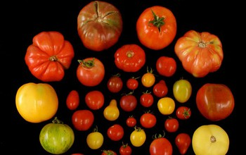 Researchers subjected many tomato varieties to consumer panel evaluations.