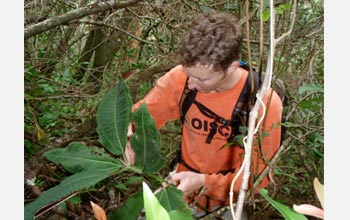 Photo of Joshua Atwood removing an invasive plant from Manoa Valley on the island of O'ahu.