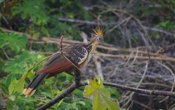 hoatzin bird in a tree