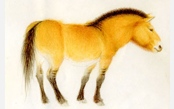 Reconstruction of the tarpan, or wild European horse, Equus ferus.