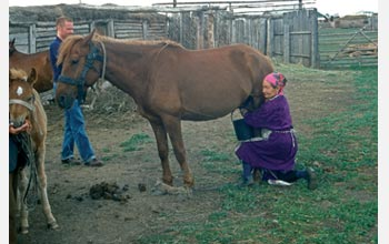 Photo of a woman milking a mare.