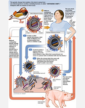 Illustration showing how a flu virus transforms and spreads.