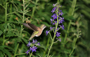 Photo of a female broad-tailed hummingbird visiting purple larkspur flowers.