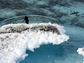 An Adelie penguin is poised to jump into the water.