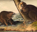 Image of The American Beaver, by John James Audubon, 1854.