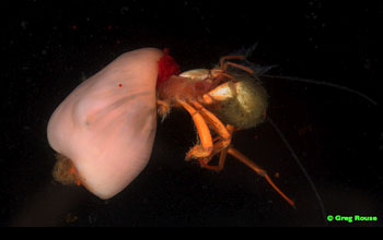 a crab that uses an anemone as a shell.