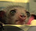 Dean Gibson and Anne Yoder talk about the rare baby aye-aye born at the Duke Lemur Center.