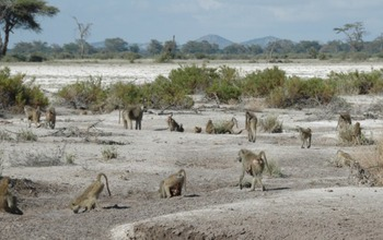 Baboon group in Amboseli, Kenya