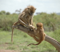 A juvenile and an infant baboon play together on a tree snag