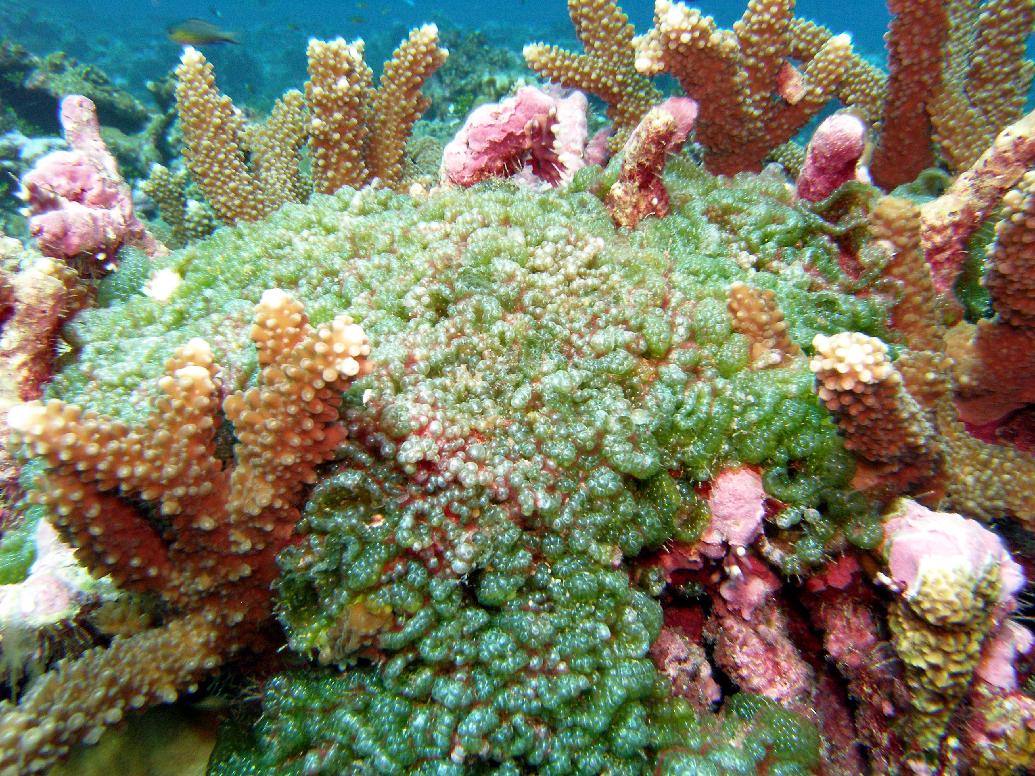 Fleshy algae may soon smother this otherwise healthy coral reef.