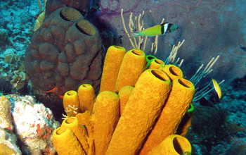Large sponges on a reef with  sponge-eating fish in the Bahamas.