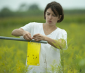 Field researcher checks insect sticky traps for insects