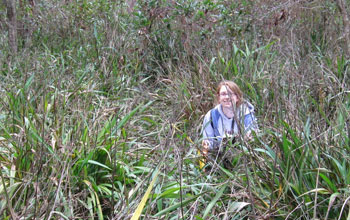 Researcher Kristin Powell amid the invasive plant cerulean flax lily in central Florida.