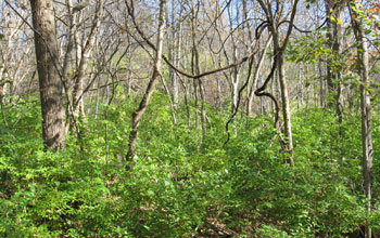 Stand of the invasive plant Amur honeysuckle at the Tyson Research Center in Missouri.
