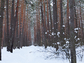 trees in a snowy forest